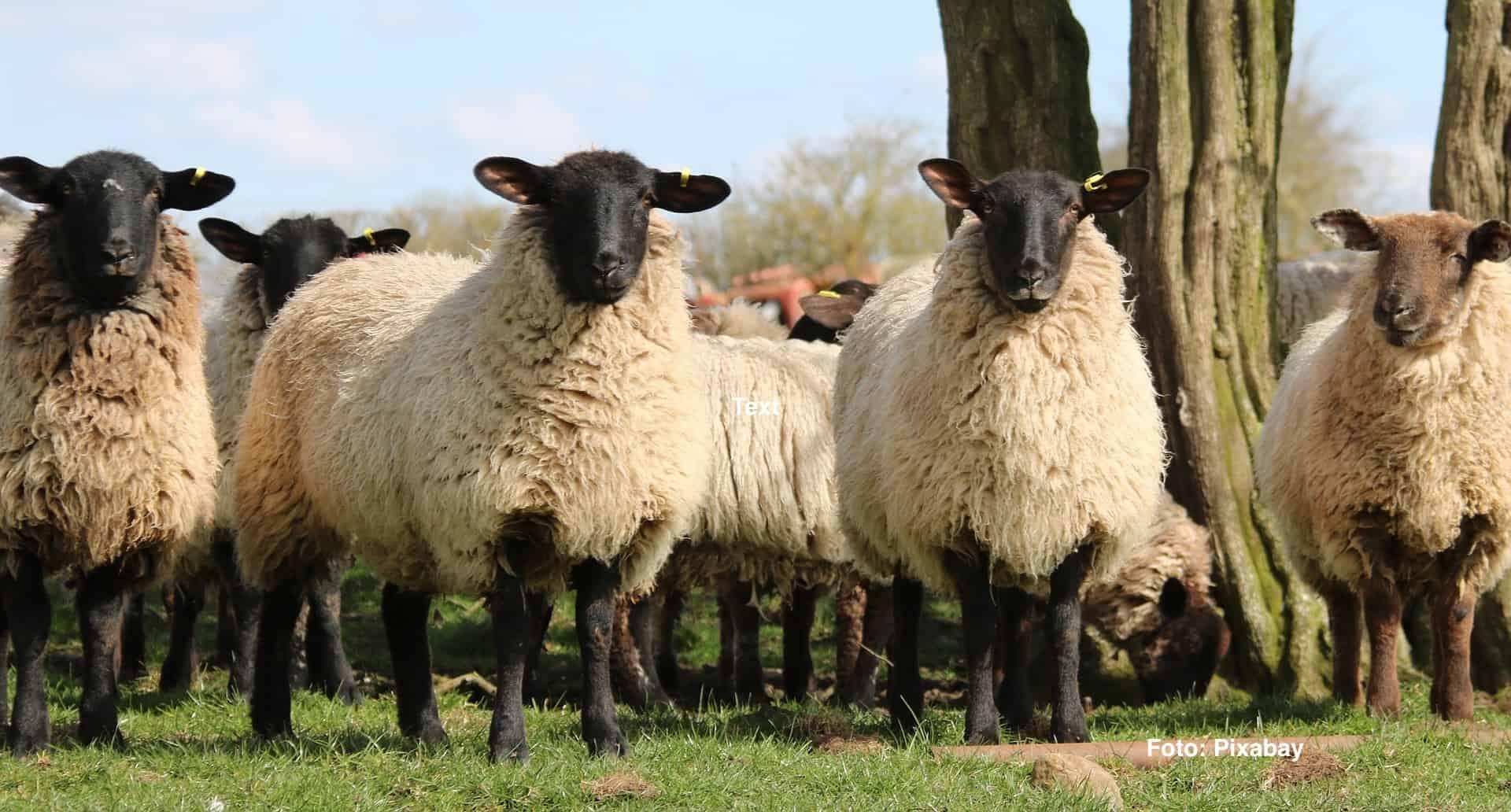 sheep-1306621_1920